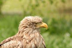 Adlerportrait Haliaeetus albicilla Stockfoto