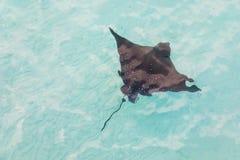 Adlerrochen, die in den Küstengewässern schwimmen Lizenzfreie Stockbilder