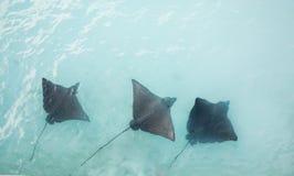 Adlerrochen, die in den Küstengewässern schwimmen Lizenzfreies Stockfoto