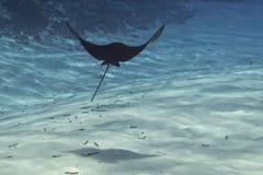 Adlerrochen Manta beim Tauchen in Malediven Lizenzfreies Stockbild
