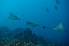 Adlerrochen Manta beim Tauchen in Malediven Lizenzfreie Stockbilder