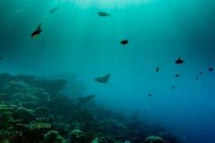 Adlerrochen Manta beim Tauchen in Malediven Lizenzfreie Stockfotografie