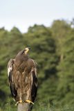 Adlervogel auf Pfosten Stockbild
