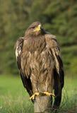 Adlervogel in der Landschaft Lizenzfreie Stockfotos