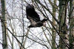 Adlerweibchen im Flug Stockfotografie