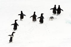 Adélie Penguins running on ice. Royalty Free Stock Photos