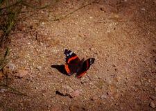 Admirável vermelho do almirante vermelho da borboleta, chamado no atalanta de Vanessa do latino, senta-se na terra arenosa, close foto de stock