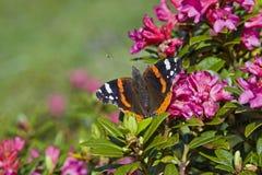 Admiraal - de vlinder bij alpien bloeien nam toe Royalty-vrije Stock Afbeelding