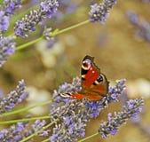 Admiraalvlinder Butterfly Stock Foto's
