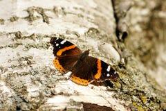 Admiraalvlinder Butterfly Stock Afbeelding