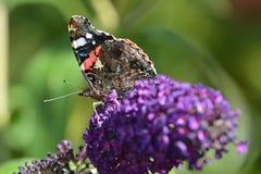 Admiraalvlinder Butterfly Royalty-vrije Stock Foto