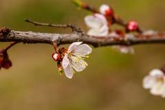 Admirablement la cerise fleurissante s'embranche sur ce que les abeilles reposent Photo stock