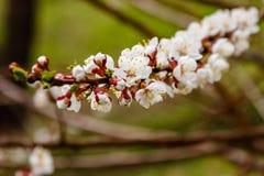 Admirablement la cerise fleurissante s'embranche sur ce que les abeilles reposent Photographie stock libre de droits