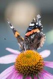 Admiral Butterfly Lizenzfreies Stockbild