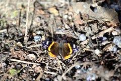 Admiral Butterfly - 02 Lizenzfreie Stockbilder
