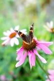 Admiral Butterfly Lizenzfreie Stockfotos