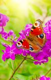 Admiral butterfly background sun. Admiral butterfly sits on a purple Phlox flower against the background of the sun`s rays close-up royalty free stock image