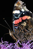 Admiral butterfly close-up. Portrait on the plant Stock Photography
