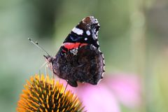 Admiral butterfly sits on a flower. The admiral is a diurnal butterfly from the nymphalid family stock photo