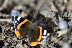Admiral Butterfly - 10 Royalty Free Stock Photos