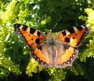 Daily Admiral butterfly (Vanessa atalanta) Stock Photo