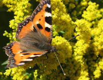 Daily Admiral butterfly (Vanessa atalanta) Stock Photography