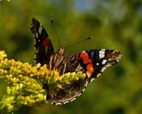 Daily Admiral butterfly Vanessa atalanta
