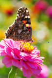 Admiral  butterfly on zinnia flower Royalty Free Stock Photos