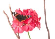 Admiral motyl na bodziszka kwiacie odizolowywającym na bielu Obrazy Stock