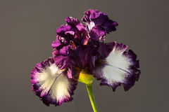 Admiral nelson bloom. Beautiful spring flower open petal. White with purple edges iris blossom blooming Stock Images