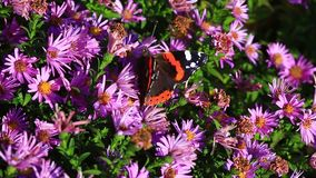 Admiral`s butterfly Vanessa atalanta stock video