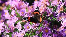 Admiral`s butterfly Vanessa atalanta. The Admiral`s butterfly Vanessa atalanta on a pink of flowers with natural audio sound stock video footage