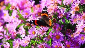 Admiral`s butterfly Vanessa atalanta. The Admiral`s butterfly Vanessa atalanta on a pink of flowers with natural audio sound stock video