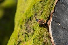 Admiralsschmetterling auf einem Baum überwältigt mit grünem Moos Lizenzfreie Stockbilder