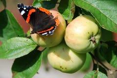 Admiralsschmetterling, der auf Apple im Sommergarten sitzt Stockbild