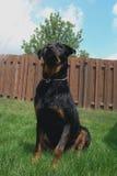 Admirando Rottweiler fotografia de stock royalty free