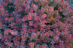 Admiration dwarf barberry. Close up of Admiration dwarf barberry leaves royalty free stock image