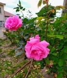 Admiring the spring roses royalty free stock photos