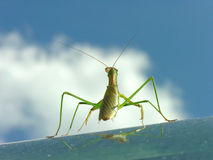 Admiring the view. A praying mantis admiring the view from a window Stock Images