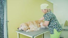 Admission veterinarian. Golden Retriever and a veterinarian. Dog beige breathing quickened, and the vet listens to his breathing. Admission veterinarian. Golden stock video