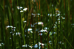 Admongst the grass. Landscape, flowers in the grass Stock Photography