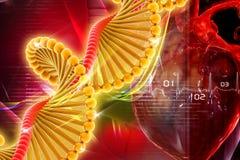 ADN avec le coeur Photos stock