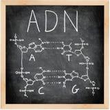 ADN - DNA auf spanisch, französisch und portugiesisch. Lizenzfreies Stockbild