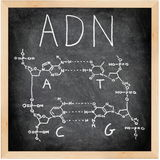 ADN - DNA in Spanish, French and Portuguese. ADN, DNA in Spanish, French and Portuguese written on blackboard with chalk. Chemical structure of DNA including royalty free stock image