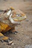 Ładna kolorowa iguana pozuje dla kamery Zdjęcia Royalty Free