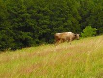 Ładna krowa Zdjęcia Royalty Free