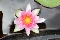 Ładna menchii woda w mój ogrodowym stawie lilly Zdjęcia Stock