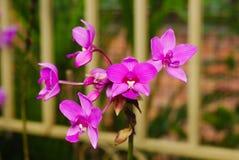 Ładna purpurowa orchidea Obraz Stock