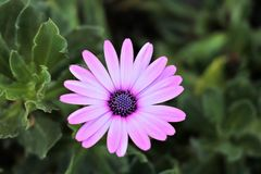 Ładna purpurowa stokrotka w Greece Zdjęcie Royalty Free