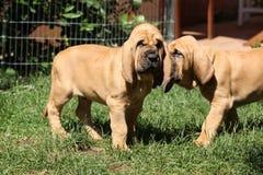 Ładni bloodhound szczeniaki Obrazy Royalty Free